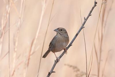 Bachman's Sparrow IMG_5147 rev 1