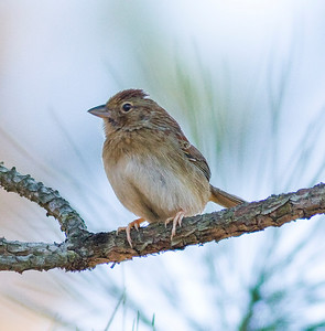 Bachman's Sparrow IMG_1283  rev 2