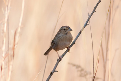 Bachman's Sparrow IMG_5148 rev 1