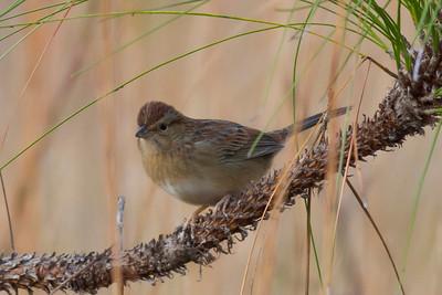 Bachman's Sparrow IMG_0812