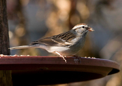 Chipping Sparrow IMG_0525 rev 1