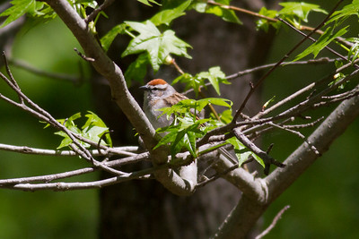Chipping Sparrow IMG_0242
