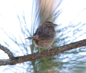 Bachman's Sparrow IMG_1292  rev 1