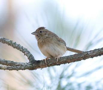 Bachman's Sparrow IMG_1282 rev 1