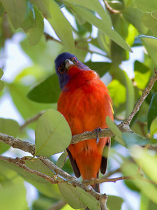 Painted Bunting IMG_2420
