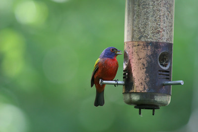 Painted Bunting IMG_3687