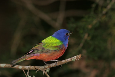 Painted Bunting IMG_1370