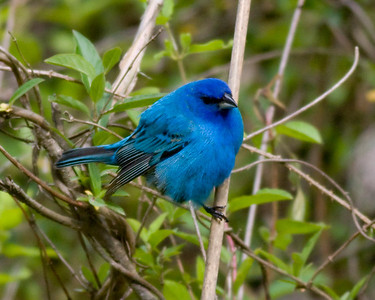 Indigo Bunting IMG_0018 rev 1 copy