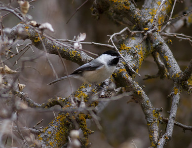 Black-capped Chickadee IMG_1299