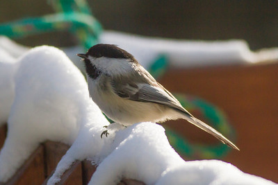 Black-capped Chickadee IMG_9171