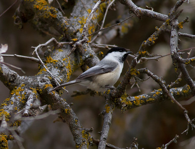 Black-capped Chickadee IMG_1300