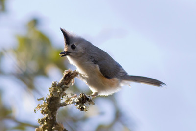 Black-creasted Titmouse IMG_6893