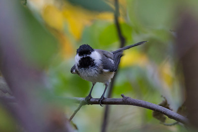 Black-capped Chickadee IMG_1151