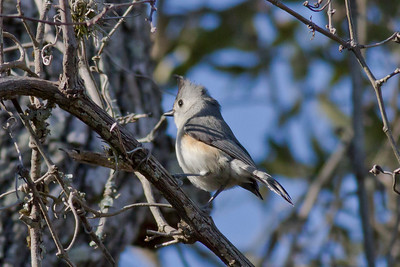 Black-creasted Titmouse IMG_6876