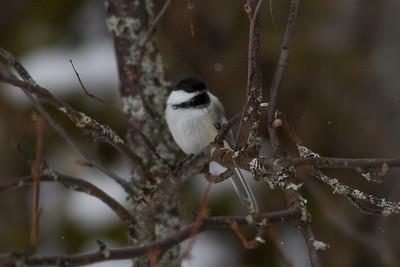 Black-capped Chickadee IMG_9808