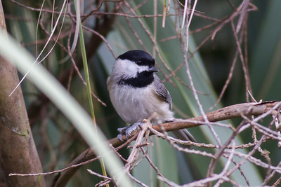 Carolina Chickadee IMG_1906 rev 1
