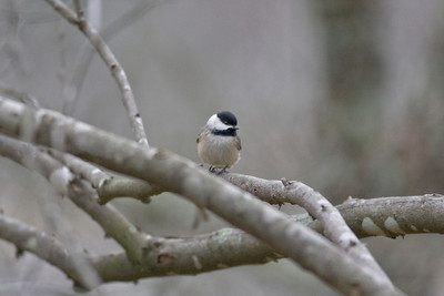 Carolina Chickadee IMG_1096 rev 1