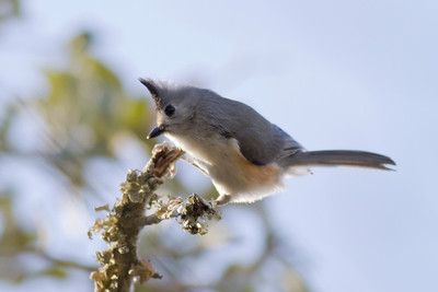 Black-creasted Titmouse IMG_6892