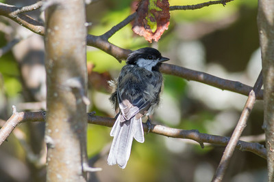Black-capped Chickadee IMG_7253