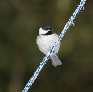 Carolina Chickadee IMG_0276 rev 1
