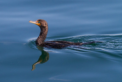 Double-crested Cormorant IMG_7328