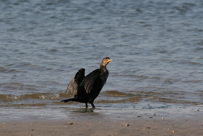 Double-crested Cormorant IMG_0094