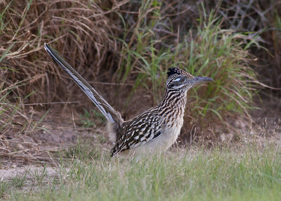 Greater Roadrunner IMG_7105