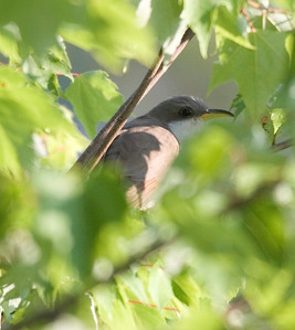 Yellow-billed Cuckoo IMG_3129 rev 1