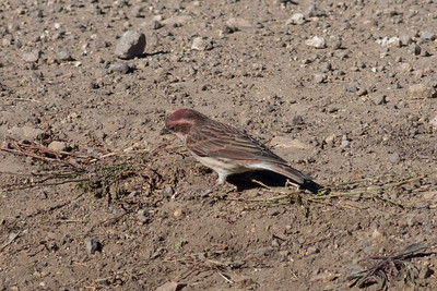 Cassin's Finch IMG_8114