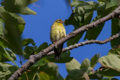 American Goldfinch IMG_7209