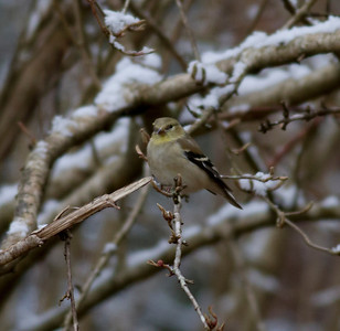 American Goldfinch IMG_1211