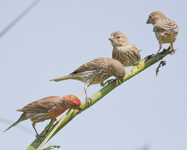 House Finches IMG_0802 rev 1 copy
