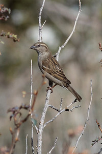 House Finch IMG_1585