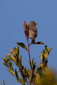 House Finch IMG_0171