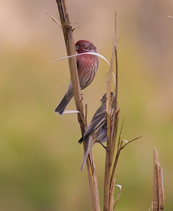House Finches IMG_0413_1
