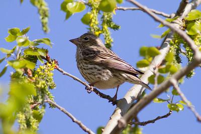 Cassin's Finch (Female) IMG_3300