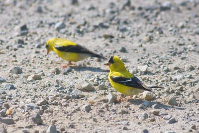 American Goldfinch IMG_6514 rev 1
