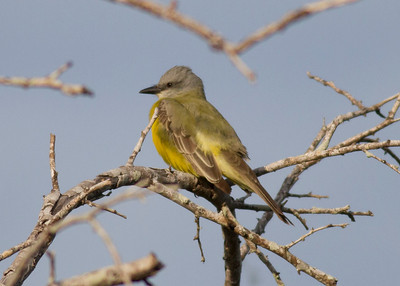Couch's Kingbird IMG_7136