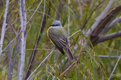 Couch's Kingbird IMG_6523