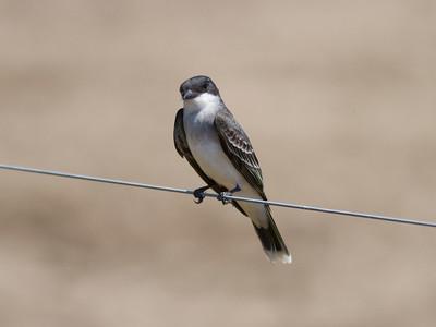 Eastern Kingbird IMG_2465