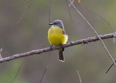 Couch's Kingbird IMG_7077