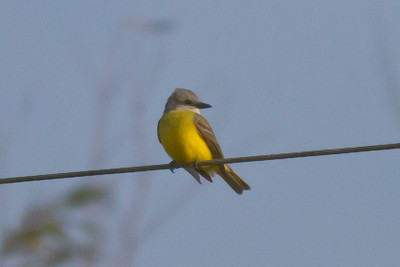 Couch's Kingbird IMG_6772