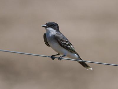 Eastern Kingbird IMG_2461