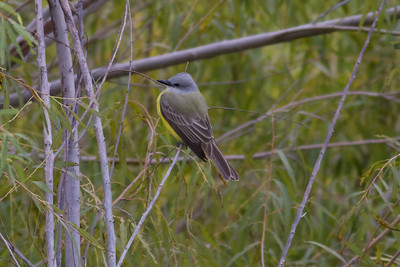 Couch's Kingbird IMG_6518