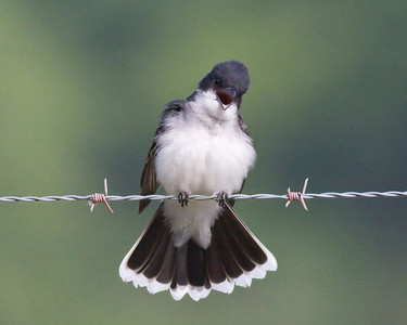 Eastern Kingbird IMG_4111 rev 1 copy 2