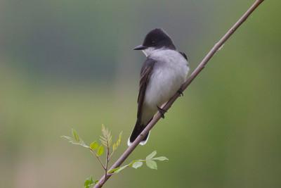 Eastern Kingbird IMG_2306