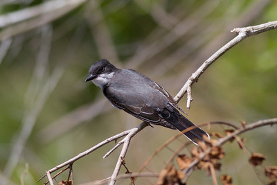 Eastern Kingbird IMG_0728