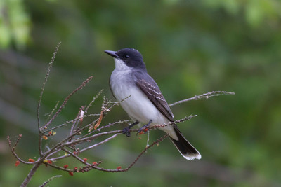 Eastern Kingbird IMG_2303