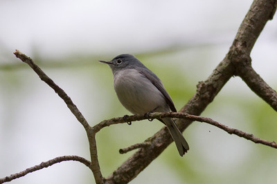 Blue-Gray Gnatcatcher IMG_2170