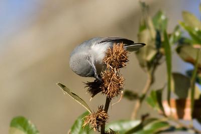 Blue-gray Gnatcatcher IMG_9771 rev 1